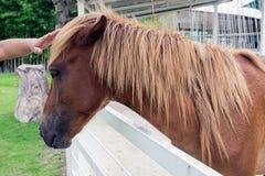 Portretpaard, mens die een paard strijken Stock Afbeelding