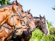 Portretten die van paarden, in een close-up zich op een rij bevinden profile_ stock afbeeldingen