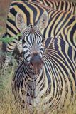 Portretten van Afrikaanse zebras Tsavo Nationaal Park, Kenia royalty-vrije stock foto's