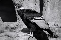 Portretten van Andescondor, Vultur-gryphus royalty-vrije stock afbeeldingen