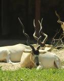 Portretten van dieren - een addaxantilope bij een DIERENTUIN stock fotografie