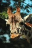 Portretten van dieren - een mooie giraf bij een DIERENTUIN stock afbeeldingen