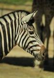 Portretten van dieren - mooie zebra bij een DIERENTUIN stock foto