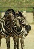 Portretten van dieren - twee zebras bij een DIERENTUIN royalty-vrije stock afbeeldingen