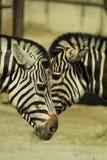 Portretten van dieren - Twee zebras bij een DIERENTUIN - sociaal gedrag stock foto's