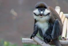 Portretten van Guenon-aap royalty-vrije stock foto's