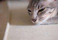Portretten van leuke korte haarjongelui weinig kat van het huishuisdier royalty-vrije stock foto's