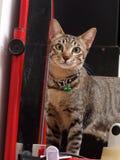 Portretten van leuke korte haarjongelui weinig kat van het huishuisdier stock foto