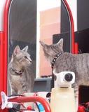 Portretten van leuke korte haarjongelui weinig kat van het huishuisdier stock afbeelding