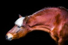Portretten van paarden royalty-vrije stock afbeelding