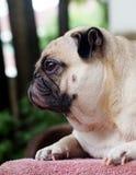 Portretten van witte pug royalty-vrije stock foto's