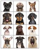 Portrety psi szczeniaki na białym tle Zdjęcia Royalty Free