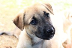 Portriat of a cute brown puppy with a black muzzle. A curious light brown puppy with a black muzzle sits in the sunlight in Papua New Guinea and looks up Stock Photo