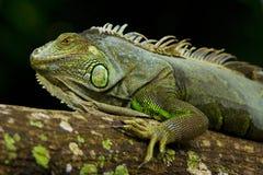 Portriat da iguana imagens de stock