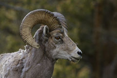 Portriat Of A Ram Stock Photo