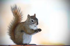 Portriat of a Squirrel. Portrait of a cute squirrel standing up Royalty Free Stock Photos