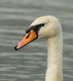 Portrit лебедей Стоковое фото RF