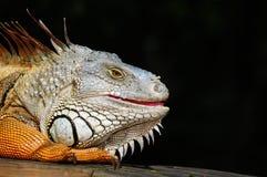 Portrit eines Leguans Stockbilder