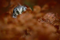 Porträt der nördlichen Eule mit gelben Augen in der orange Eiche während des Herbstes Lizenzfreie Stockbilder