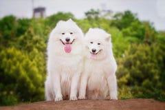 Porträt der Samoyednahaufnahme Schlittenhunde Lizenzfreies Stockfoto
