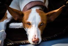 Porträt der Windhundkreuzung Stockfoto