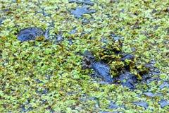 Porträt des Alligators schwimmend in einen Sumpf Lizenzfreies Stockfoto