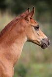 Porträt des arabischen Fohlens der alten Kastanie einiger Wochen Lizenzfreie Stockfotos