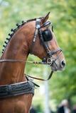 Porträt des Buchtwagens Pferd fahrend Stockbild