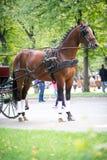 Porträt des Buchtwagens Pferd fahrend Stockfoto
