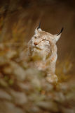 Porträt des eurasischen Luchses im braunen Gras Lizenzfreies Stockbild