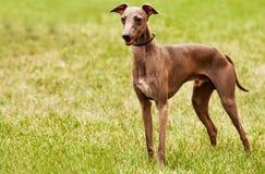 Porträt des italienischen Windhunds auf te grünem Gras Stockbild