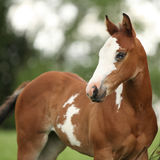 Porträt des netten FarbenpferdeStutenfohlens mit blauem Auge Stockfotografie