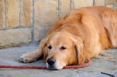 Porträt des roten behaarten Hundes Stockfoto