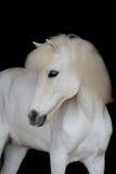 Porträt des schönen weißen Ponys Stockbilder