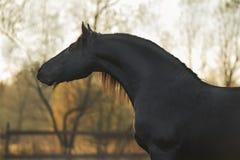 Porträt des schwarzen Frisianpferds Lizenzfreies Stockbild