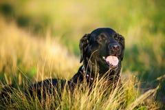 Porträt des schwarzen Labrador-Hundelügens Lizenzfreie Stockfotos
