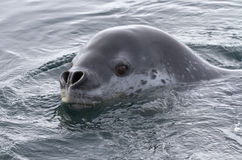 Porträt des Seeleoparden Lizenzfreie Stockbilder