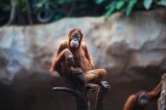 Porträt des weiblichen Orang-Utans Lizenzfreie Stockfotos