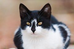 Porträt einer hübschen Schwarzweiss-Katze Stockfotos