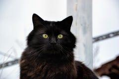 Porträt einer schönen schwarzen Katze Chantilly Tiffany zu Hause Stockbilder