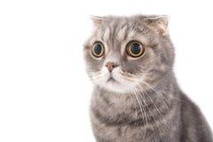 Porträt eines überraschten Katzenzucht Scottish falten sich Stockfotografie