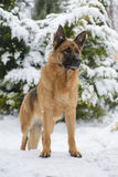 Porträt eines Schäferhundhundes steht im Winter Stockfotografie