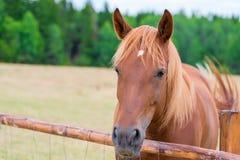 Porträt eines schönen braunen Pferds hinter einem Zaun Stockfotografie
