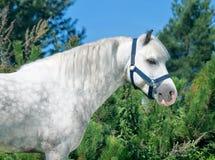 Porträt grauen Waliser-Ponys Stockfoto