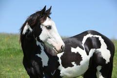 Malen Sie Pferdestallion Stockbild