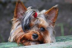 Porträt von jungem männlichem Yorkshire Terrier, zusammengebaut mit rotem Gummibandendstück des Haares auf dem Kopf Stockbild