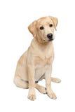 Porträt von labrador retriever-Welpen Stockfotos
