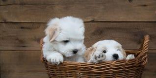 Porträt: Zwei kleine Welpen - Baby verfolgt Baumwolle de Tulear Stockbild