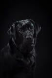 Porträthunderasseschwarzes Labrador auf einem Studio Stockbild