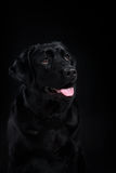 Porträthunderasseschwarzes Labrador auf einem Studio Lizenzfreies Stockfoto